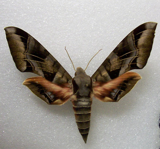 Big Sphingidae - Eumorpha typhon