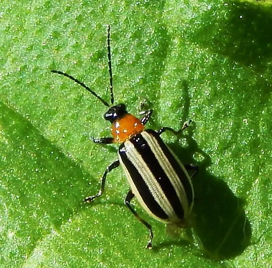 Western Striped Cucumber Beetle, Acalymma trivittatum? - Acalymma