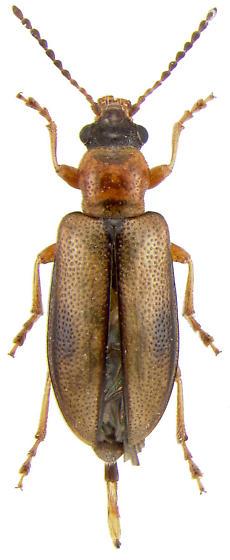 Chrysomelidae sp. - Orsodacne atra - female