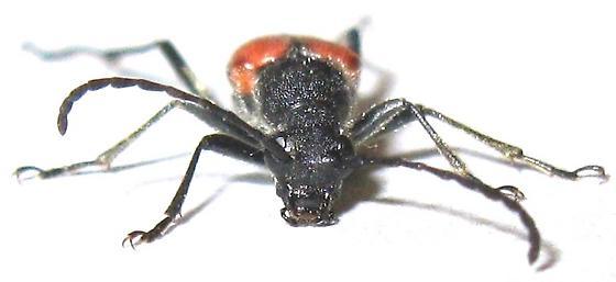 Dimorphic Flower Longhorn Beetle - Anastrangalia laetifica - female
