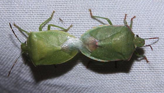 Unknown green stinkbug - Thyanta custator - male - female