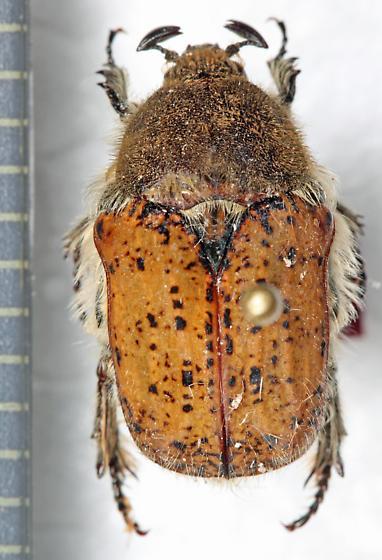 Cetoniinae - Euphoria inda