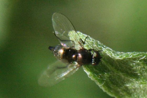 Melanagromyza or Liriomyza nigriscutellata (my vote is for Liriomyza...) - Melanagromyza - female
