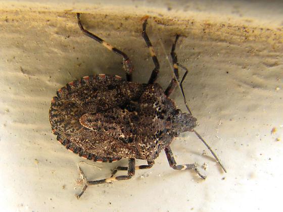 Shield bug - Brochymena affinis