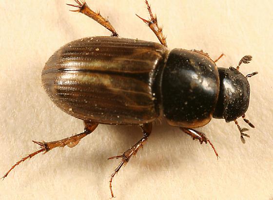 dung beetle - Aphodius prodromus