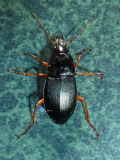 Carabidae? - Calathus
