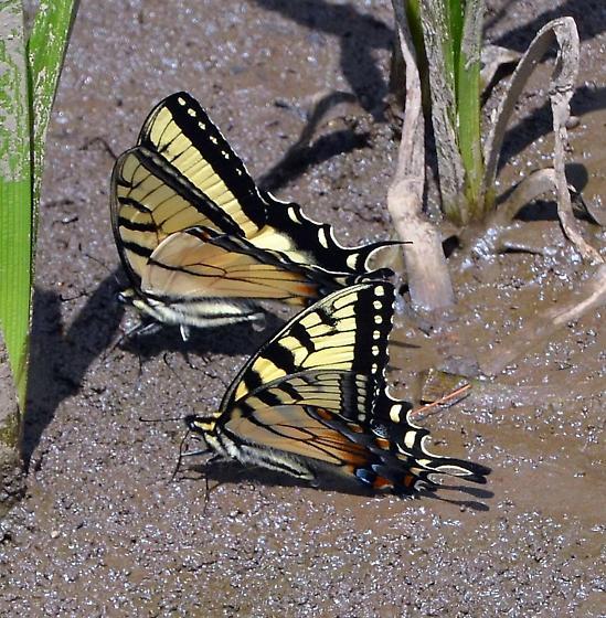 Appalachian Tiger Swallowtail, Papilio appalachiensis - Papilio appalachiensis