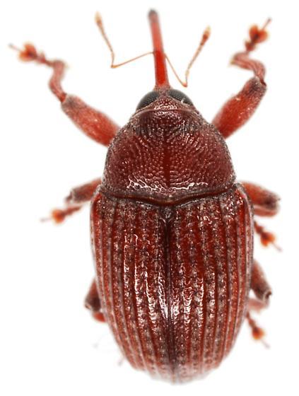Midsize reddish weevil.  - Rhyssomatus pruinosus