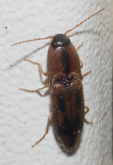 Dull red click beetle - Aeolus