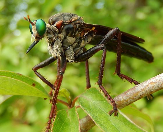 Microstylum morosum Giant Green-eyed Robber Fly - Microstylum morosum