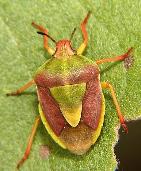 Stink bug - Antheminia remota