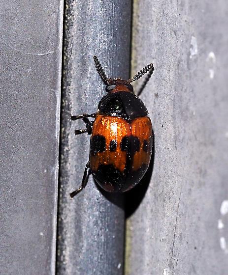 Coleoptera - Diaperis nigronotata