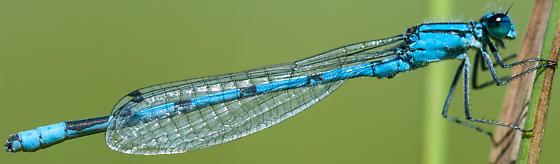 Hagen's bluet - Enallagma hageni - male
