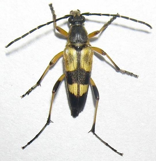 Flower Longhorned Beetle - Etorofus soror