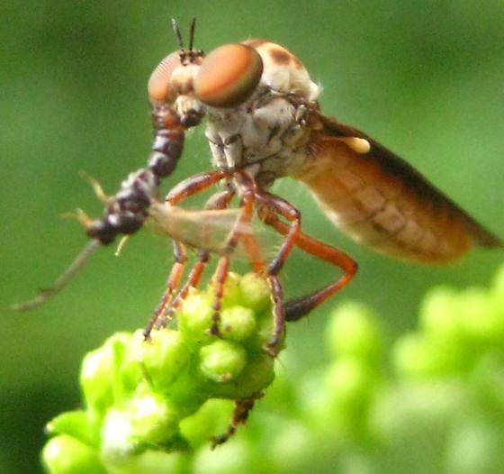 Bee? - Holcocephala fusca
