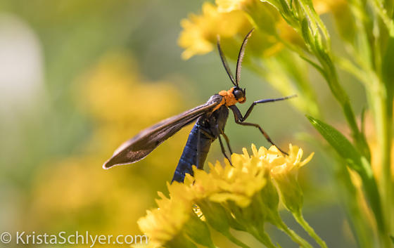 Moth? - Cisseps fulvicollis
