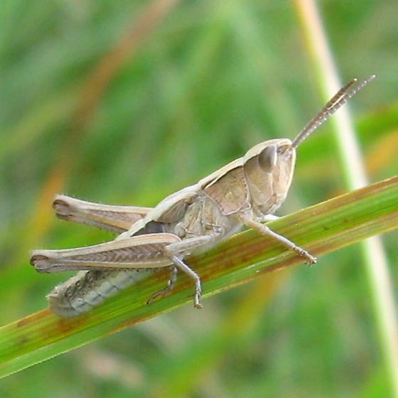 Acrididae 7.26.09 01 - Chorthippus curtipennis - male