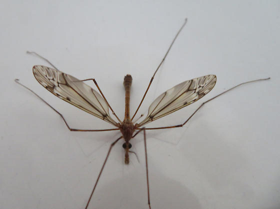 Tipula, maybe T. pubera - Tipula - male