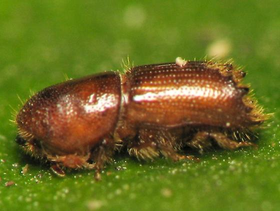 Five-spined pine bark beetle