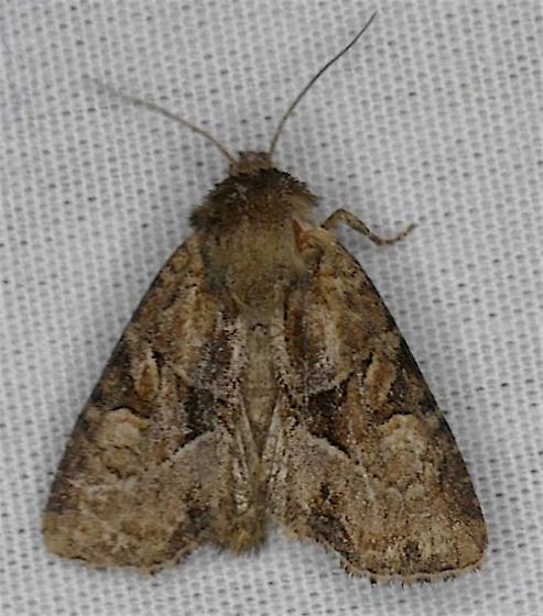 Oblique Brocade Moth - Oligia obtusa