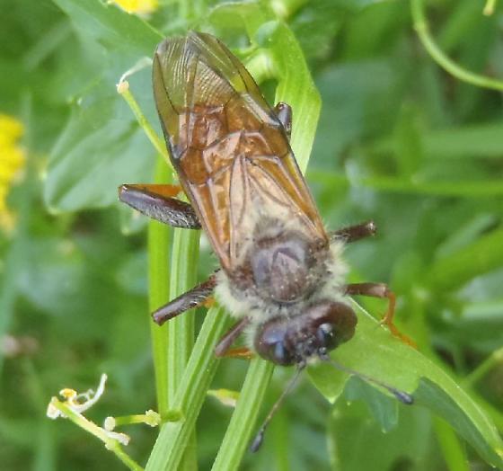 Cimbicidae ? - Trichiosoma triangulum