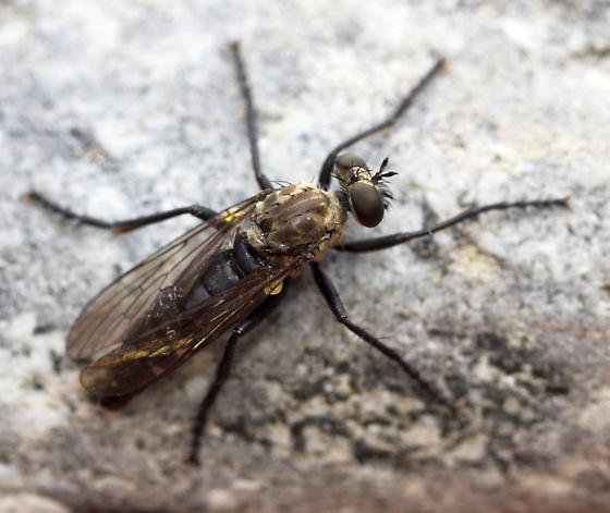 fly - long legs and abdomen with narrow white bands - Coleomyia alticola - female