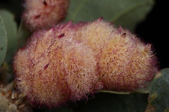Andricus crystallinus ? - Andricus crystallinus