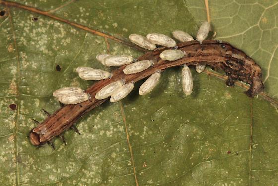 Geometrid caterpillar with parasites - Pero