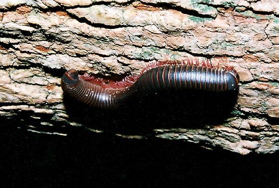 North American Millipede - Narceus americanus-annularis-complex