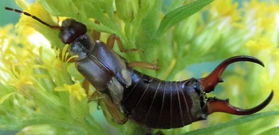 earwing 3 - Forficula auricularia - male
