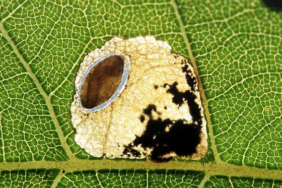 Shield Bearer Moth - Coptodisca juglandiella