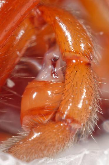 Woodlouse Hunter - Dysdera crocata - male