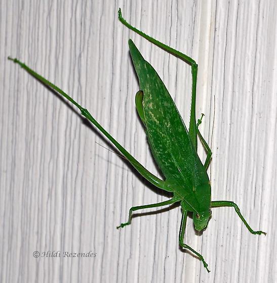 KATYDID? - Amblycorypha oblongifolia - female