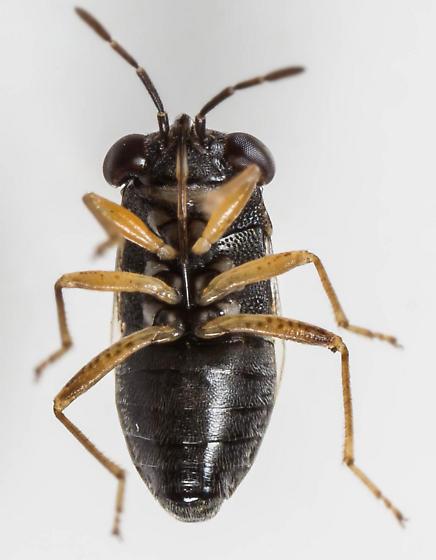 Big-eyed Bug - Geocoris uliginosus