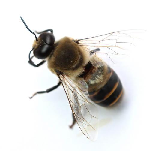 Apis mellifera - male