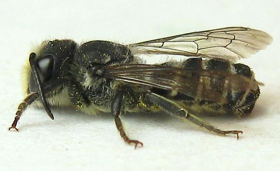 Bee - Megachile