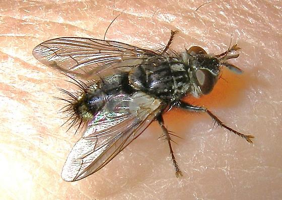 Tachinomyia sp.