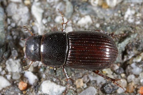 unknown small beetle - Australaphodius frenchi