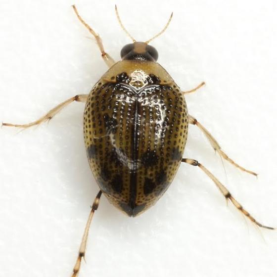 Peltodytes - Peltodytes edentulus