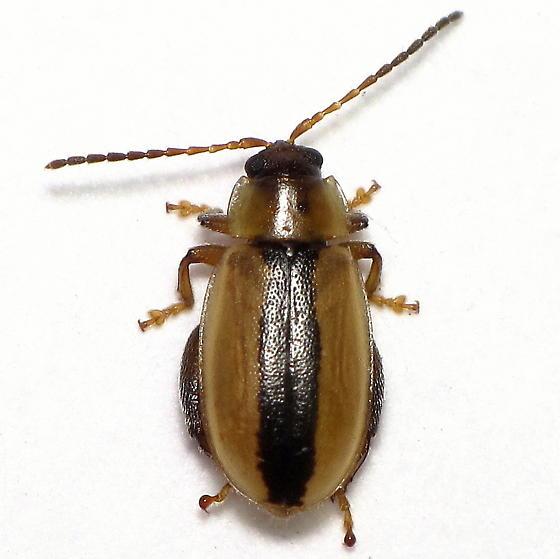 Unid. Beetle 4 - Capraita texana