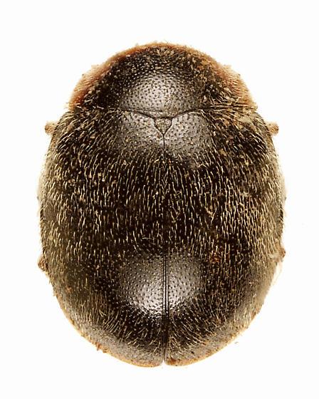 Scymnus garlandicus