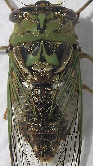 Carpenters' Cicada - Megatibicen resh
