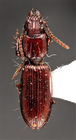 Schizogenius amphibius