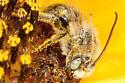 Sunflower Bee - Melissodes - male