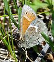 Ringlet - Coenonympha tullia