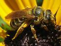 Large striped bee on sunflowers - Halictus farinosus
