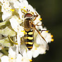 Syrphid caught by crab spider - Eupeodes fumipennis