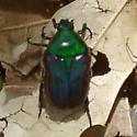 Green Beetle - Euphoria fulgida