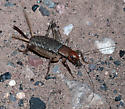 Ground Cricket?   - Hoplosphyrum boreale - female