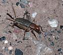 Ground Cricket?   - Hoplosphyrum boreale - female